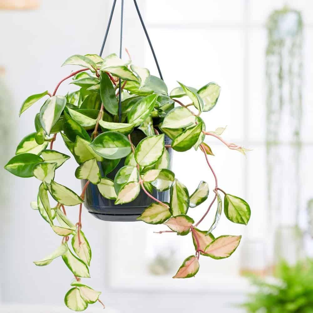 tanaman gantung